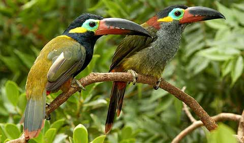 Гвианская селенидера (Selenidera culik)