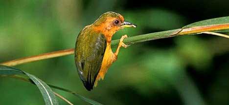 Малайский рыжий дятелок (Sasia abnormis)