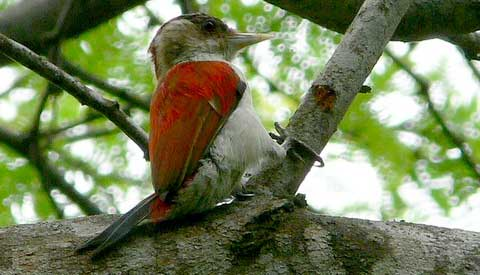 Рубиновый дятел (Veniliornis callonotus)