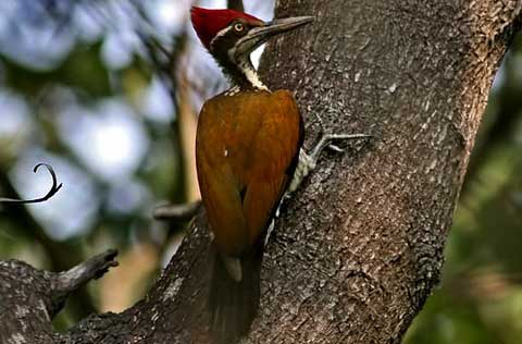 Большой султанский дятел (Chrysocolaptes lucidus)