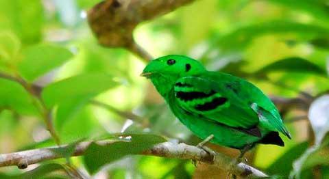 Зеленый рогоклюв (Calyptomena viridis)
