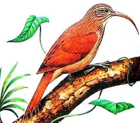 Красноспинный пищухоклювый древолаз (Campyloramphus trochilirostris)