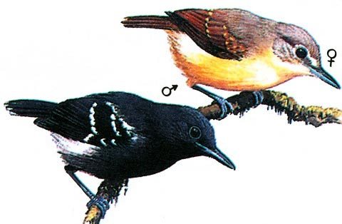 Белобокая крапивниковая муравьеловка (Myrmotherula axillaris)