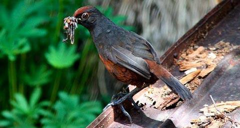 Черногорлый топаколо (Pteroptochos tarnii)