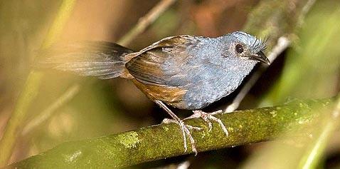 Щетинковый древесный топаколо (Меrulaxis ater)