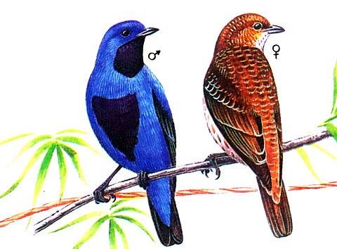 Синяя настоящая котинга (Cotinga amabilis)