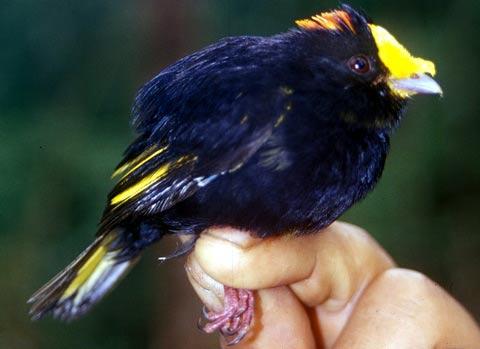 Золотокрылый манакин (Masius chryzopterus)