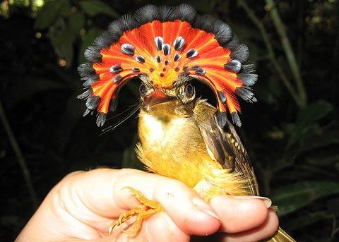 Амазонский венценосный мухоед (Onychorhynchus coronatus)