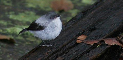 Серая серпофага (Serpophaga cinerea)