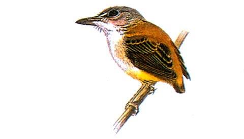 Короткохвостая аруна (Myiornis ecaudata)
