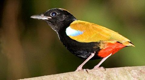 Радужная пита (Pitta iris)