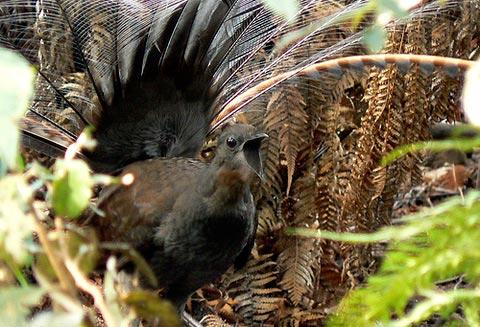 Большая птица-лира или лирохвост (Menura novaehollandiae)
