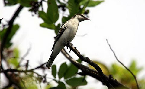 Белокрылый личинкоед-свистун (Lalage sueurii)