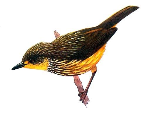 Пестрый настоящий бюльбюль (Pycnonotus striatus)