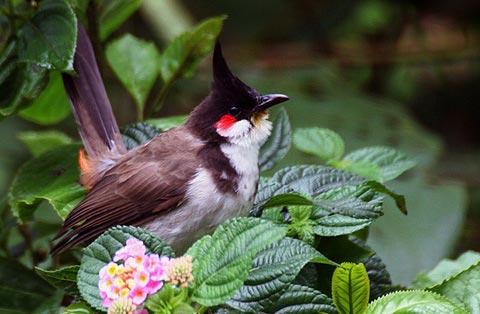 Краснощекий настоящий бюльбюль (Pycnonotus jocosus)