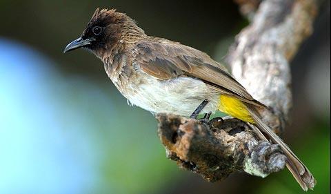 Бородатый настоящий бюльбюль (Pycnonotus barbatus)
