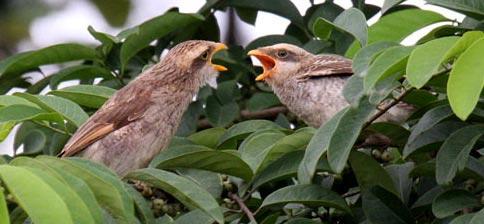 Желтоклювый сорокопут (Corvinella corvina)