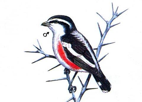 Сорокопут-Брубру (Nilaus afer)