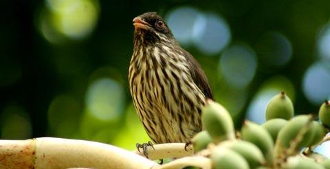 Пальмовая птица (Dulus dominicus)