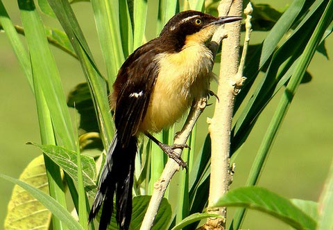 Черноголовый донакобиус (Donacobius atricapillus)