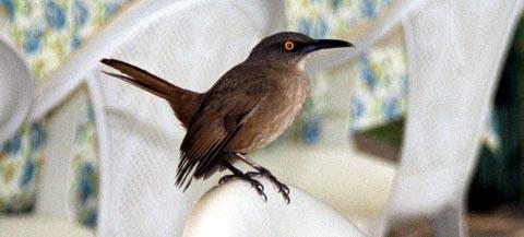 Коричневый пищуховый пересмешник (Cinclocerthia ruficauda)