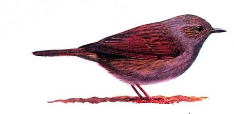 Лесная завирушка (Prunella modularis)