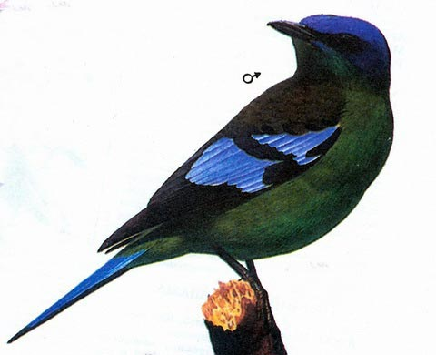 Зеленая кохоа (Cochoa viridis)