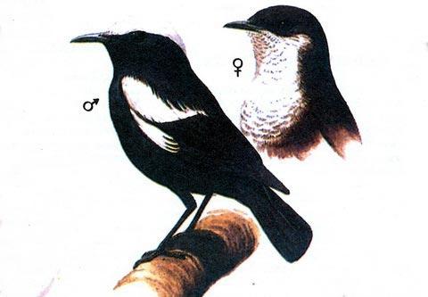 Муравьиный чекан арнота (Myrmecocichla arnoti)