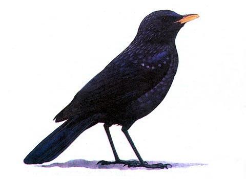 Синяя птица (Myiophones coeruleus)