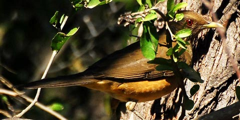 Дрозд Грея (Turdus grayi)