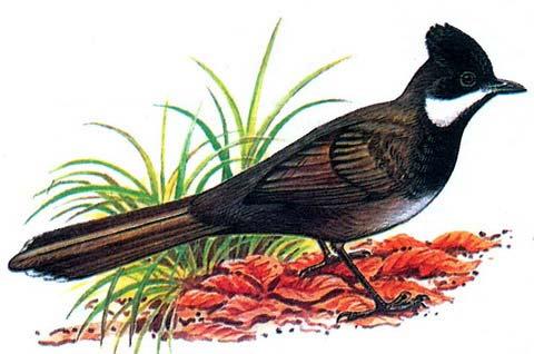 Восточная птица-бич (Psophodes olivaceus)