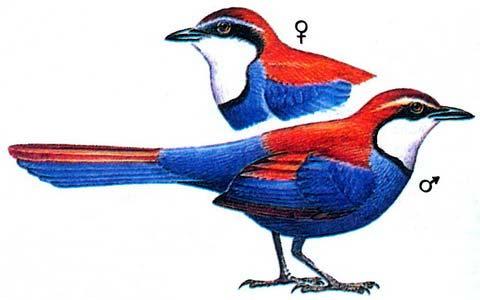 Красно-синий флейтист (Ptilorrhoa castanonota)