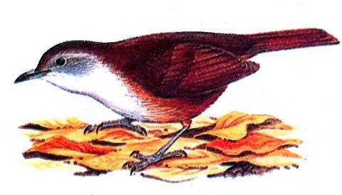 Серощекая мышиная тимелия (Illadopsis rufipennis)