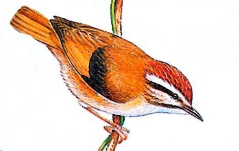 Каштановая альциппа (Alcippe castaneiceps)