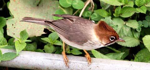 Желтоголовая юхина (Yuhina flavicollis)