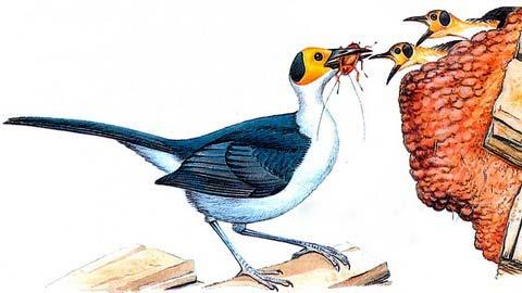 Западная лысая ворона (Picathartes gymnocephalys)