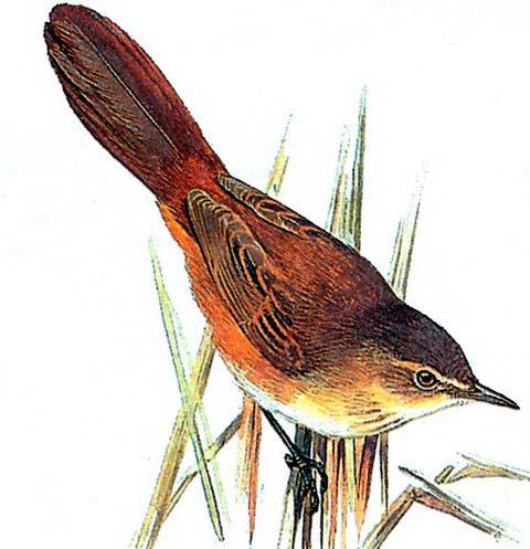 Болотная пестрогрудка (Bradypterus baboecalus)