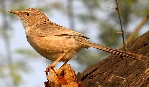 Длиннохвостая дроздовая тимелия (Turdoides caudatus)