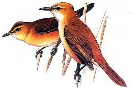 Южная дроздовидная камышевка (Acrocephalus stentoreus)
