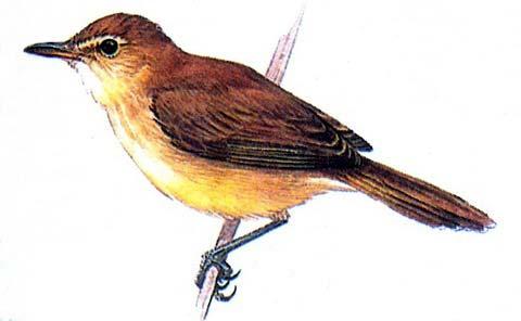 Сейшельская славка (Bebrornis sechellensis)
