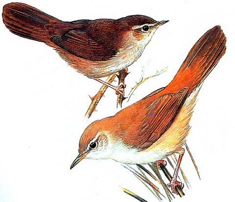 Соловьиная широкохвостка (Cettia cetti)