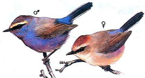 Расписная синичка (Leptopoecile sophiae)