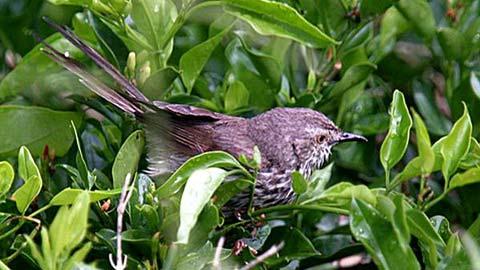 Пятнистая приния (Prinia maculosa)