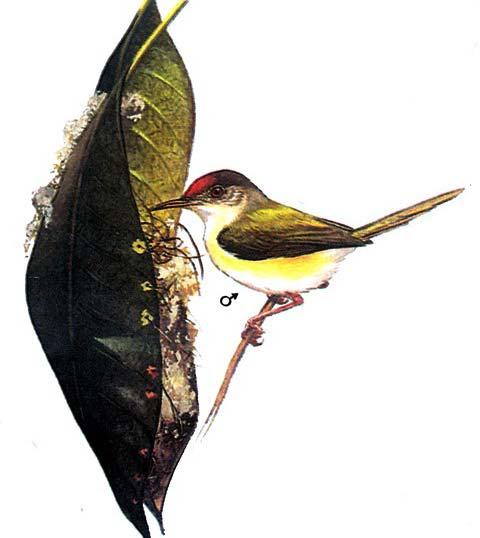 Краснолобая славка-портниха (Orthotomus sutorius)