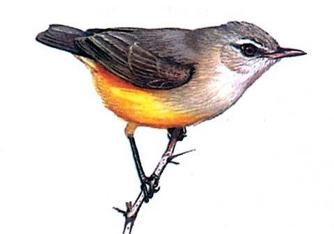 Обыкновенная желтобрюшка (Eremomela icteropygialis)