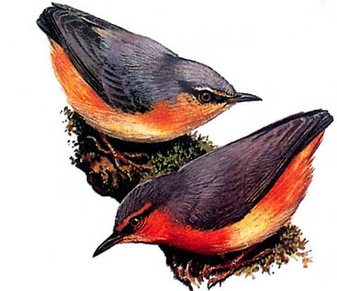 Буробрюхая сильвиетта (Sylvietta brachyura)
