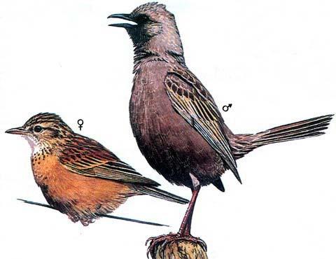 Бурый жаворонковый певун (Cinclorhamphus cruralis)