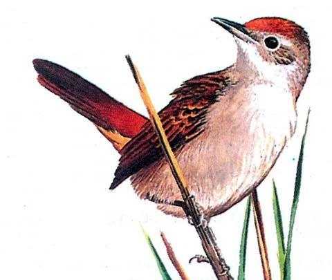 Эремия (Eremiornis carteri)