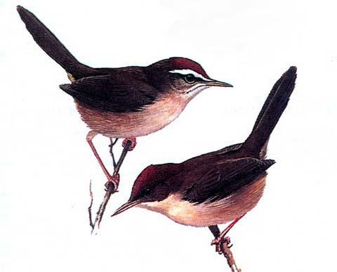 Фиджийская широкохвостка (Cettia ruficapilla)