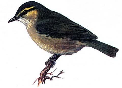 Хилия (Нуliа prasina)